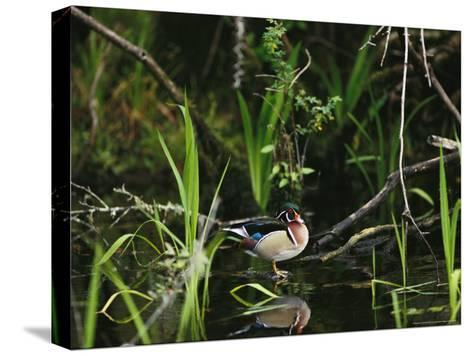 Wood Duck Reflected in Creek Water-Raymond Gehman-Stretched Canvas Print
