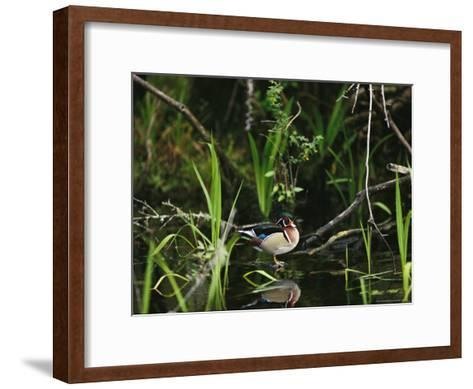 Wood Duck Reflected in Creek Water-Raymond Gehman-Framed Art Print