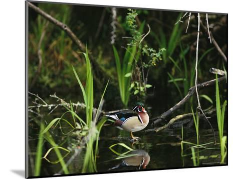 Wood Duck Reflected in Creek Water-Raymond Gehman-Mounted Photographic Print