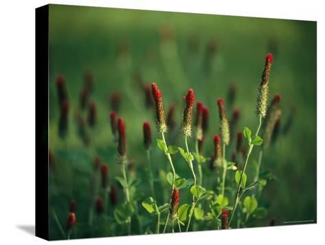 Sunlit Blooming Crimson Clover-Raymond Gehman-Stretched Canvas Print