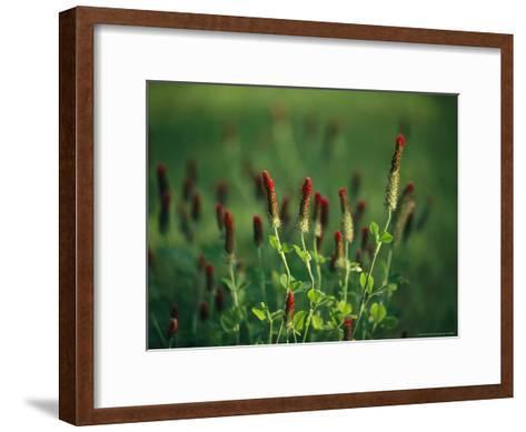 Sunlit Blooming Crimson Clover-Raymond Gehman-Framed Art Print