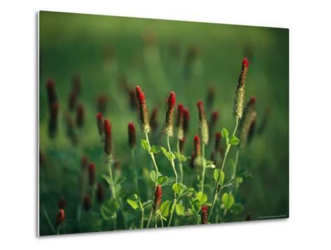 Sunlit Blooming Crimson Clover-Raymond Gehman-Metal Print