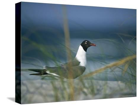 Laughing Gull, Larus Atricilla-Raymond Gehman-Stretched Canvas Print