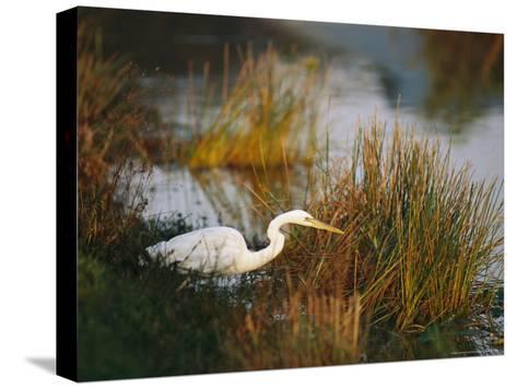 Unusual White-Tinged Great Blue Heron, Ardea Herodias-Raymond Gehman-Stretched Canvas Print