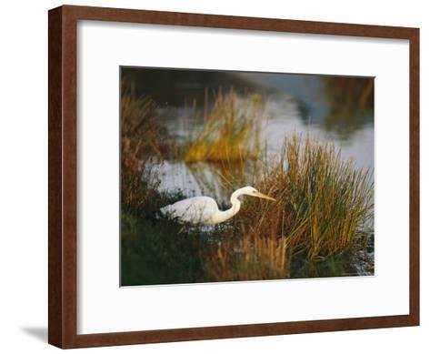 Unusual White-Tinged Great Blue Heron, Ardea Herodias-Raymond Gehman-Framed Art Print
