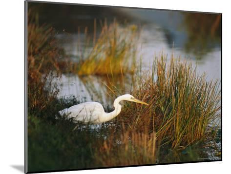 Unusual White-Tinged Great Blue Heron, Ardea Herodias-Raymond Gehman-Mounted Photographic Print