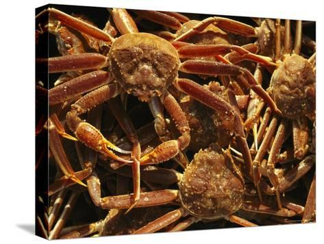 Fisherman's Catch of King Crab-Michael Melford-Stretched Canvas Print