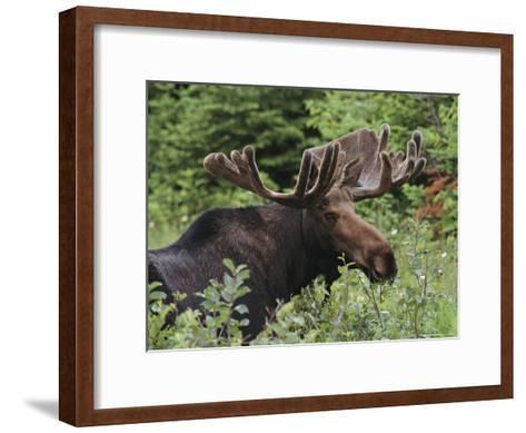 Bull Moose Among Tall Bushes-Michael Melford-Framed Art Print