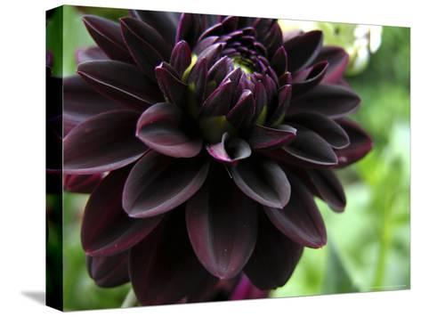 Close-up of a Dahlia Flower-White & Petteway-Stretched Canvas Print