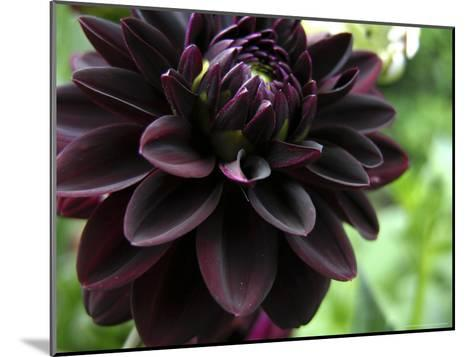 Close-up of a Dahlia Flower-White & Petteway-Mounted Photographic Print