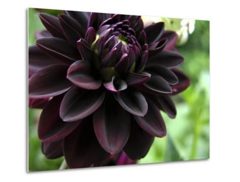 Close-up of a Dahlia Flower-White & Petteway-Metal Print