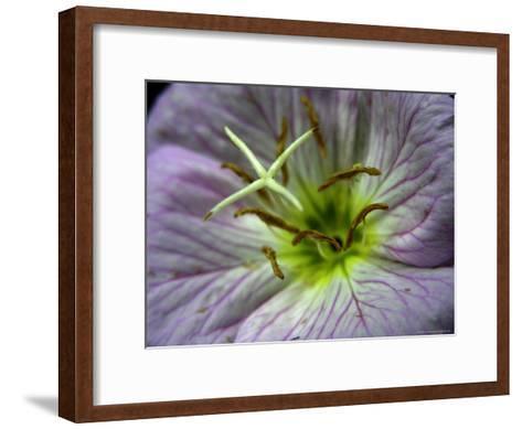 Close-up of a Showy Evening Primrose Flower-White & Petteway-Framed Art Print