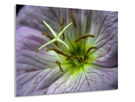 Close-up of a Showy Evening Primrose Flower-White & Petteway-Metal Print