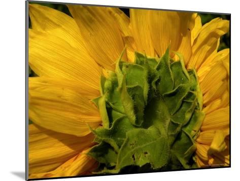 Close-up of the Back of a Sunflower Blossom-White & Petteway-Mounted Photographic Print