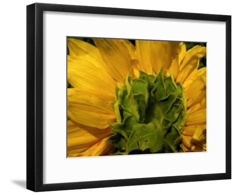 Close-up of the Back of a Sunflower Blossom-White & Petteway-Framed Art Print