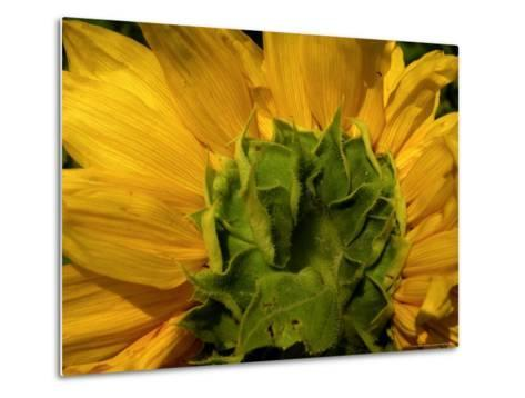 Close-up of the Back of a Sunflower Blossom-White & Petteway-Metal Print