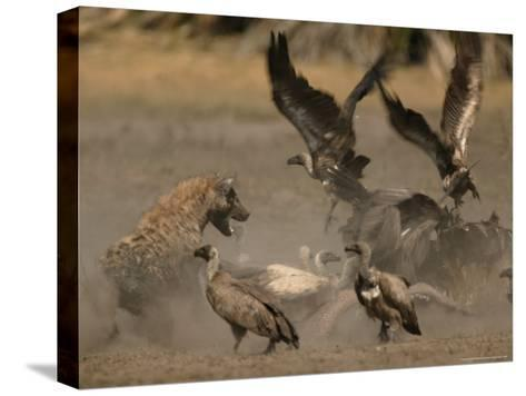 Spotted Hyena and White-Backed Vultures Duel over a Carcass-Beverly Joubert-Stretched Canvas Print