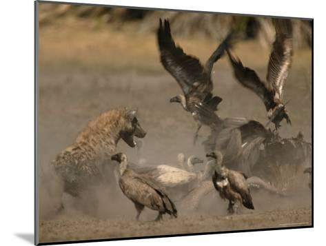 Spotted Hyena and White-Backed Vultures Duel over a Carcass-Beverly Joubert-Mounted Photographic Print