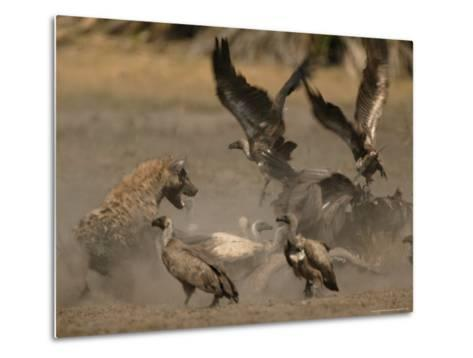Spotted Hyena and White-Backed Vultures Duel over a Carcass-Beverly Joubert-Metal Print