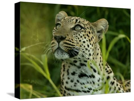 Alert Leopard Looking About As It Lies in Tall Grass-Beverly Joubert-Stretched Canvas Print