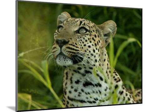 Alert Leopard Looking About As It Lies in Tall Grass-Beverly Joubert-Mounted Photographic Print
