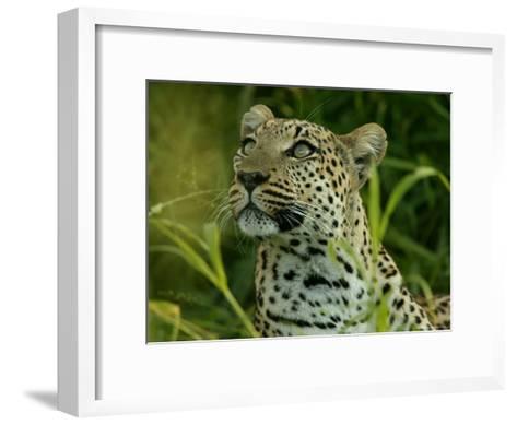 Alert Leopard Looking About As It Lies in Tall Grass-Beverly Joubert-Framed Art Print