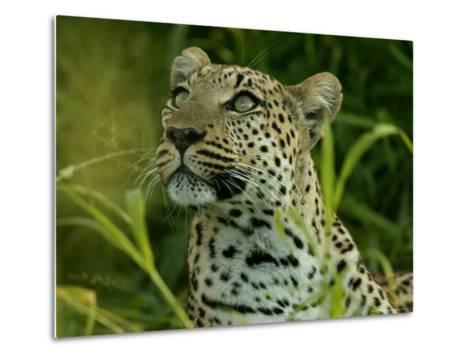 Alert Leopard Looking About As It Lies in Tall Grass-Beverly Joubert-Metal Print