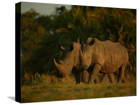 Pair of White Rhinoceroses Strolling at Twilight-Beverly Joubert-Stretched Canvas Print