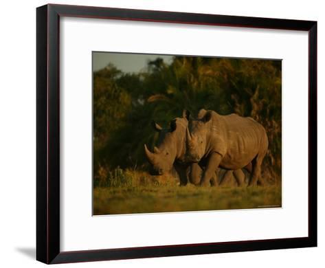 Pair of White Rhinoceroses Strolling at Twilight-Beverly Joubert-Framed Art Print