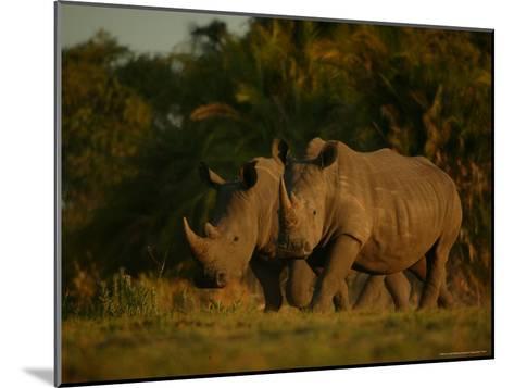 Pair of White Rhinoceroses Strolling at Twilight-Beverly Joubert-Mounted Photographic Print