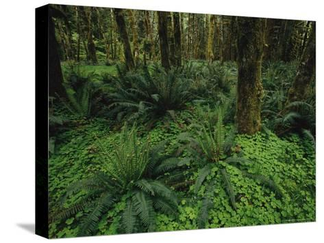 Woodland Rain Forest View with Mosses, Ferns, and Wood Sorrel-Melissa Farlow-Stretched Canvas Print
