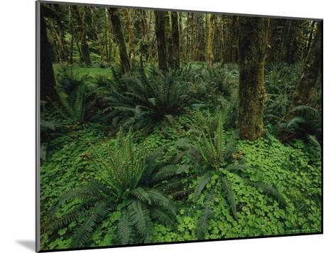 Woodland Rain Forest View with Mosses, Ferns, and Wood Sorrel-Melissa Farlow-Mounted Photographic Print