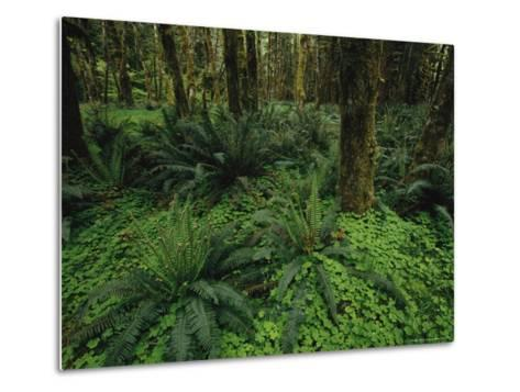 Woodland Rain Forest View with Mosses, Ferns, and Wood Sorrel-Melissa Farlow-Metal Print