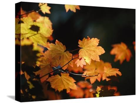 Vine Maple Leaves To Displaying Bright Autumn Colors-Melissa Farlow-Stretched Canvas Print
