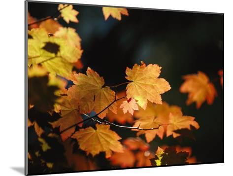 Vine Maple Leaves To Displaying Bright Autumn Colors-Melissa Farlow-Mounted Photographic Print