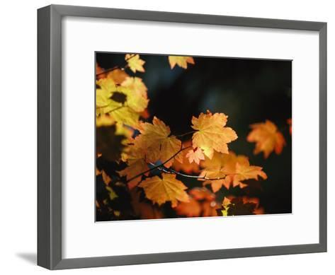 Vine Maple Leaves To Displaying Bright Autumn Colors-Melissa Farlow-Framed Art Print