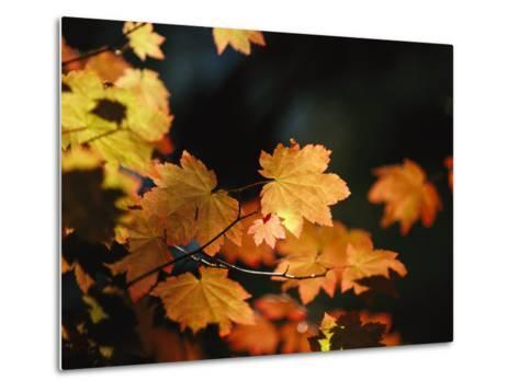 Vine Maple Leaves To Displaying Bright Autumn Colors-Melissa Farlow-Metal Print