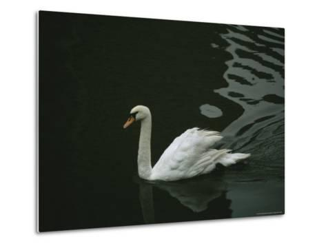 Swan Swims on a Pond Near the Imperial Palace-xPacifica-Metal Print