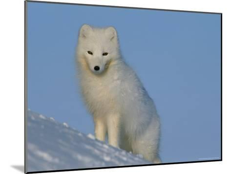 Portrait of an Arctic Fox Near Hudson Bay, Canada-Norbert Rosing-Mounted Photographic Print