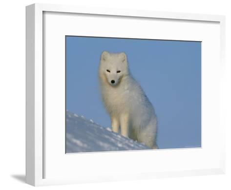 Portrait of an Arctic Fox Near Hudson Bay, Canada-Norbert Rosing-Framed Art Print
