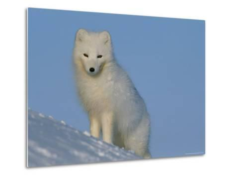 Portrait of an Arctic Fox Near Hudson Bay, Canada-Norbert Rosing-Metal Print