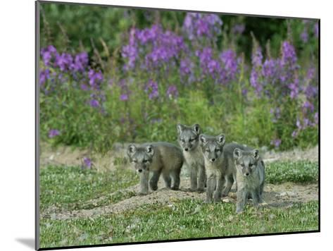 Curious Arctic Fox Pups Approach the Photographer-Norbert Rosing-Mounted Photographic Print