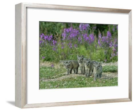Curious Arctic Fox Pups Approach the Photographer-Norbert Rosing-Framed Art Print