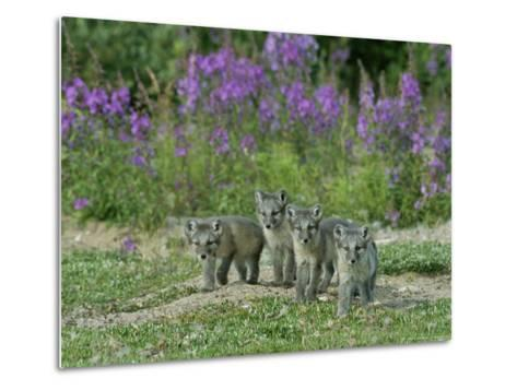 Curious Arctic Fox Pups Approach the Photographer-Norbert Rosing-Metal Print