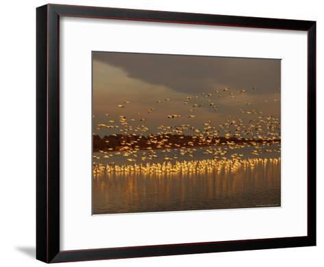 Snow Geese on Swans Cove Pool at Sunset-Raymond Gehman-Framed Art Print