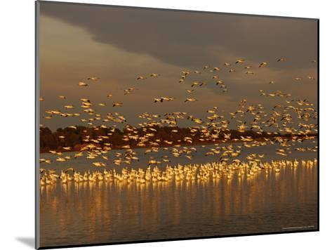 Snow Geese on Swans Cove Pool at Sunset-Raymond Gehman-Mounted Photographic Print
