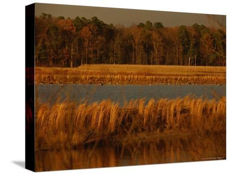 Autumn View of Canada Geese on a Freshwater Marsh at Twilight-Raymond Gehman-Stretched Canvas Print