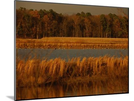 Autumn View of Canada Geese on a Freshwater Marsh at Twilight-Raymond Gehman-Mounted Photographic Print