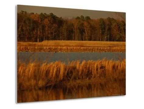 Autumn View of Canada Geese on a Freshwater Marsh at Twilight-Raymond Gehman-Metal Print