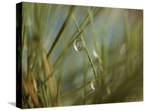 Water Droplets Clinging To Blades of Grass-Todd Gipstein-Stretched Canvas Print